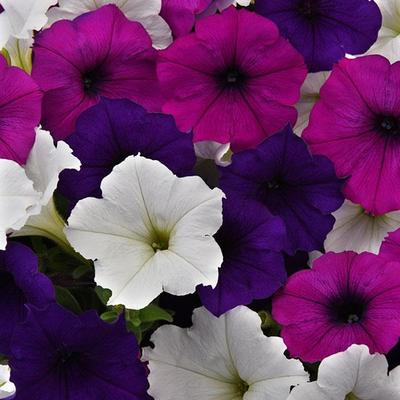 Wave Great Lakes Mix Wave Petunia Jumbo 6 pack (reg. 19.99)